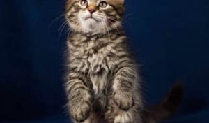 World Champion Pedigree Traditional Brown Tabby King from Russia